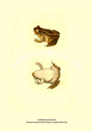 SCAPHIOPUS SOLITARIUS - European Common Brown Frog or European Grass Frog